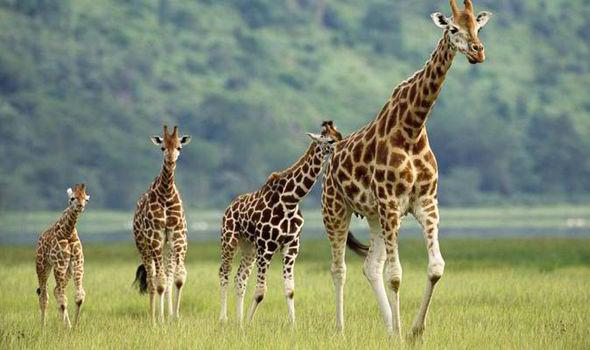 Giraffes, African Grey parrots, endangered, species,extinction,