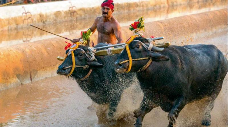 Jallikattu, Tamil Nadu, buffalo race Kambala, bullock cart races, Karnataka, Prevention of Cruelty to Animals Act, 1960, Law Minister, T B Jayachandra