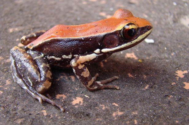 Thiruvananthapuram, anti-viral drug, Kerala, Frog mucus, colourful, tennis-ball-sized frog speciesThiruvananthapuram, anti-viral drug, Kerala, Frog mucus, colourful, tennis-ball-sized frog species