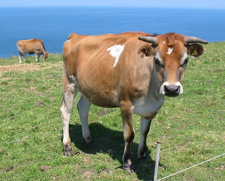 Food And Agriculture Organization Of The United Nations Cows