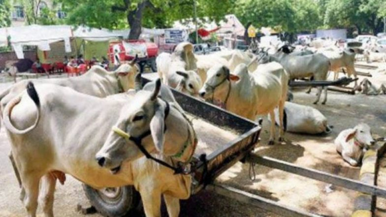 You can soon take a cow safari in Jaipur