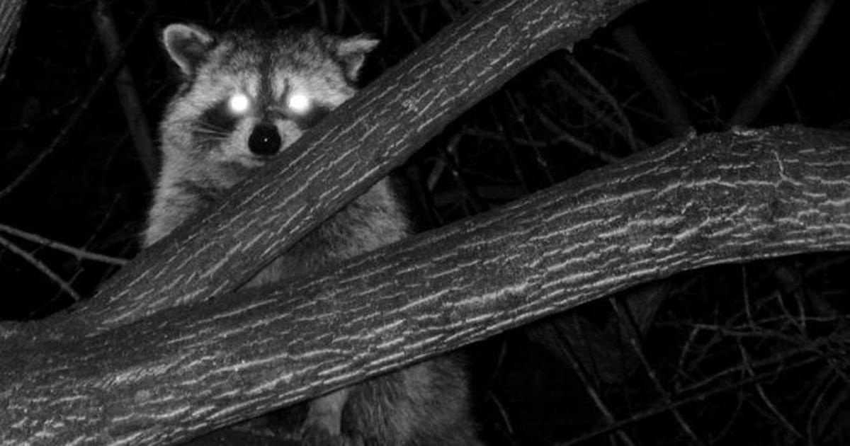 Mammals turning nocturnal to avoid human contact