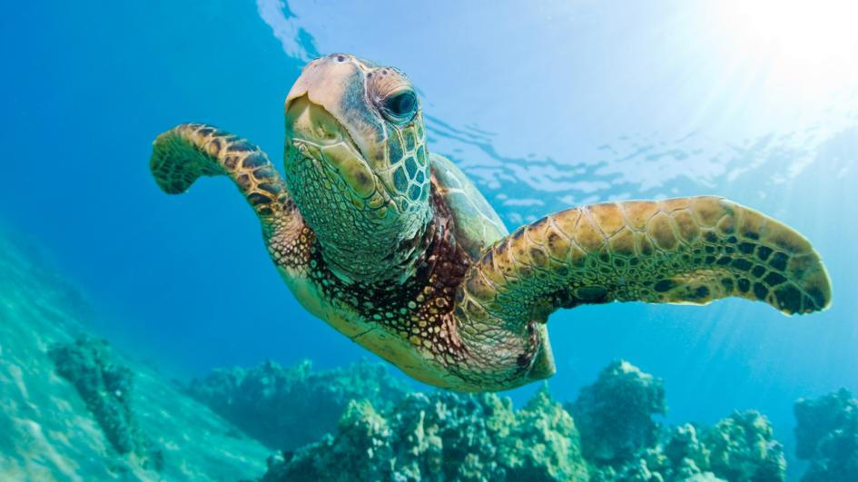Plastic in the sea shortens the life span of sea turtles