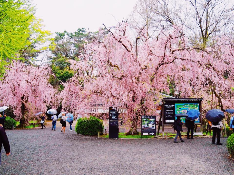 Visit Japan when the trees flower and bloom in the cherry blossom