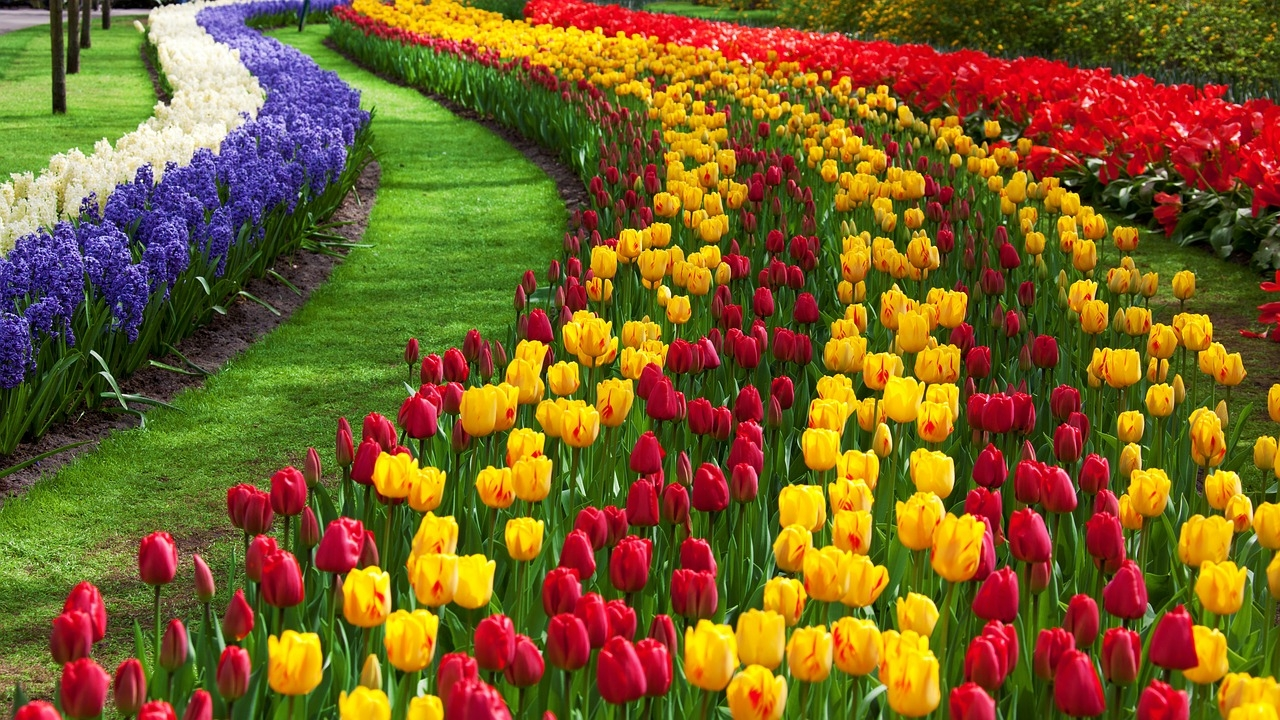 Holland, Netherlands, tulips, Keukenhof, India, NewsMobile, Tourism, global traveler