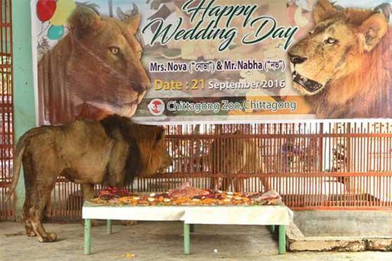 Rangpur zoo, Badsha, Chittagong zoo, Nabha, lioness Nova, Bangladesh, two lions,heart-shaped meat cake,