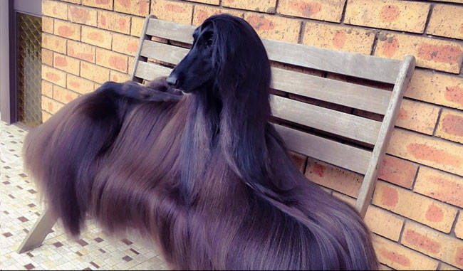 Royal Canine, Twitter accounts , supermodel, Luke Kavanagh, internet celebrities, Tea, black Afghan canine, spokesdog,