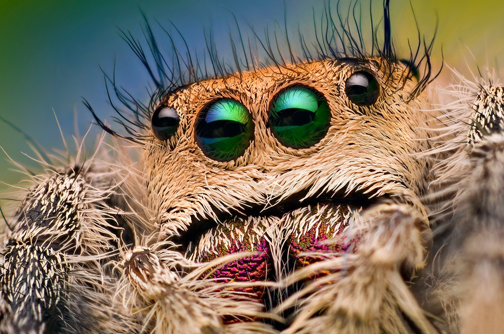 University of Manchester, spider, trained spider, jumping spider, jumps, scientists, study, research, Kim, trained leaping spider,