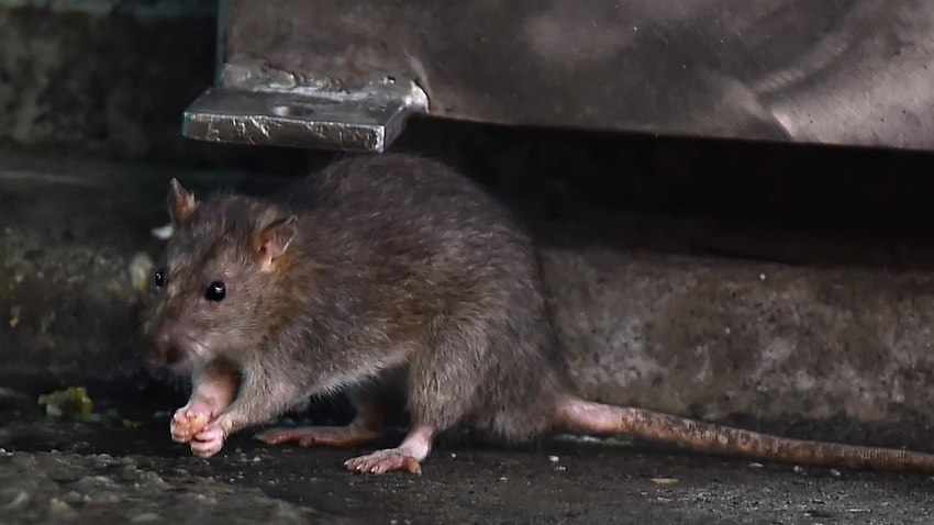 First human case of rat disease discovered in Hong Kong