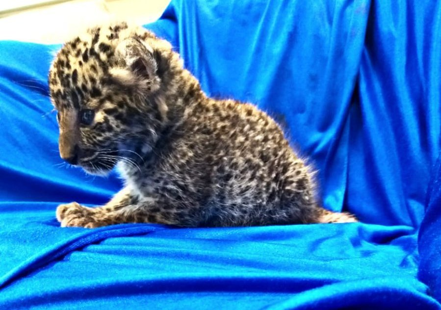 Chennai Airport, Leopard cub rescued, News Mobile, News Mobile Mobile India